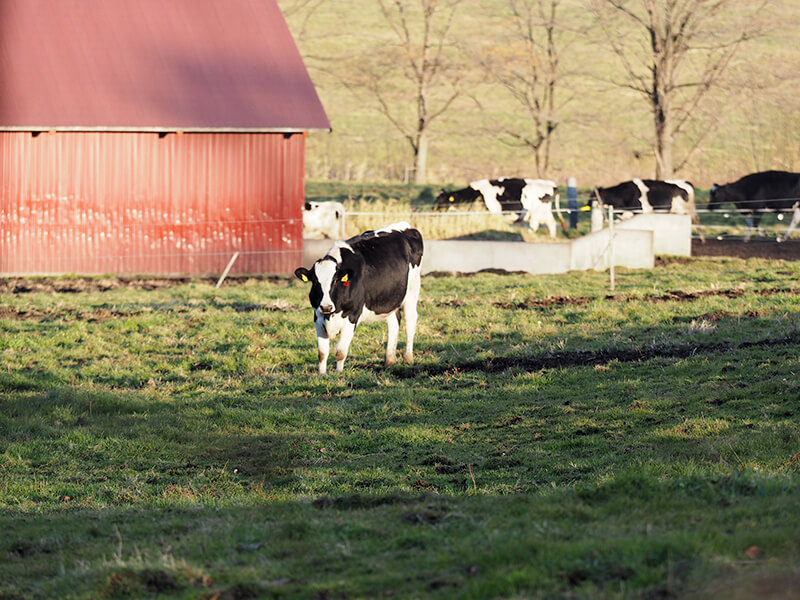 十勝しんむら牧場にいる牛