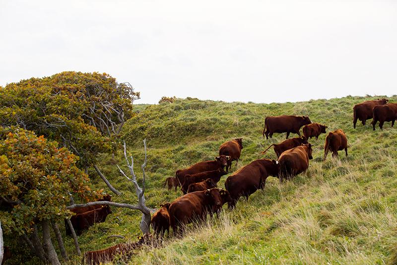 高橋ファームの放牧されている牛たち