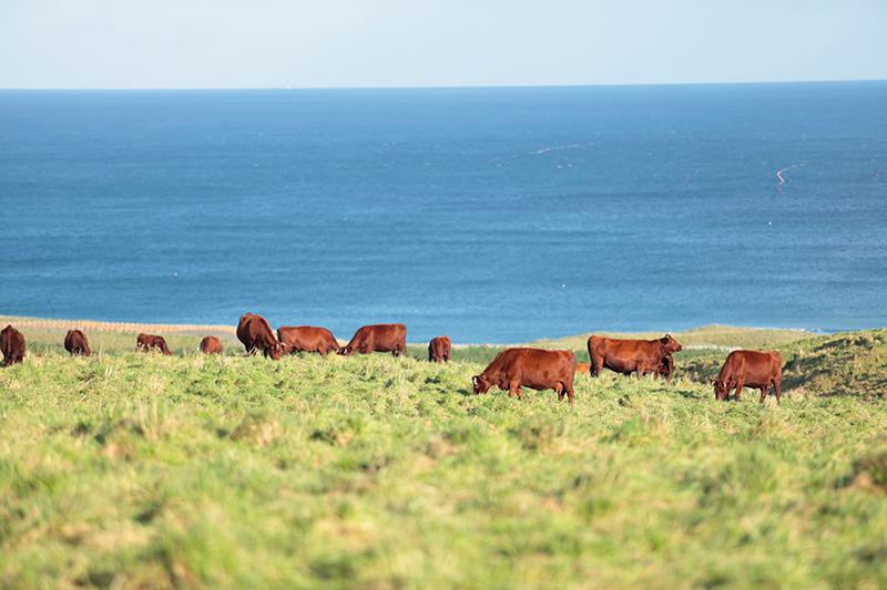 放牧されている短角牛