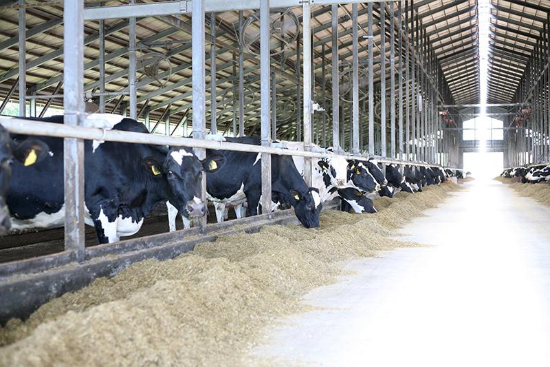 牧草を食べる牛たち