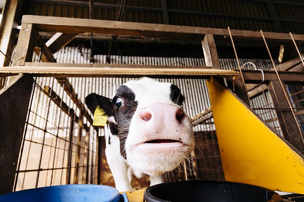 高秀牧場の牛