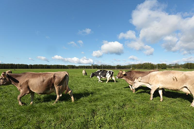 竹下牧場にいる牛達
