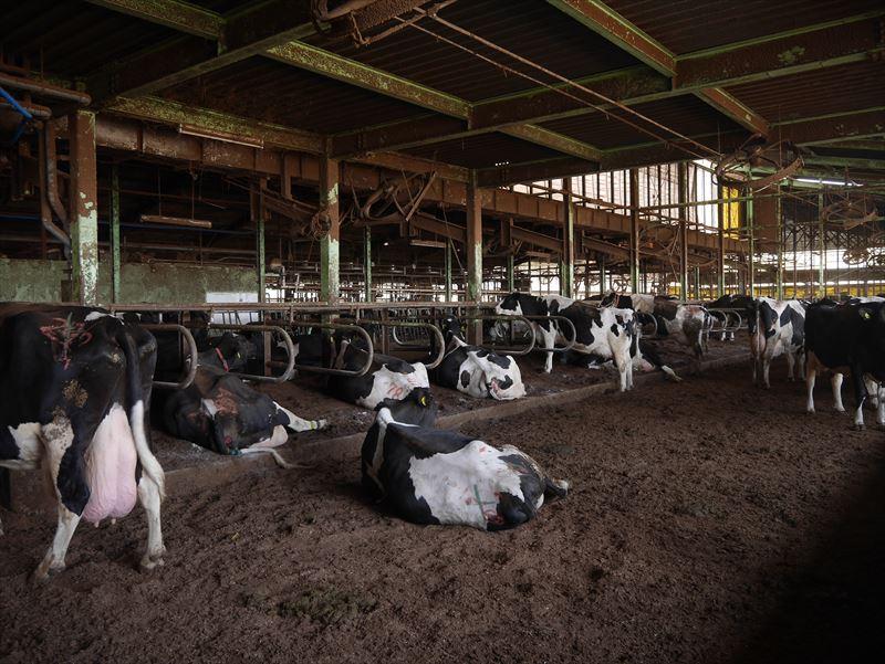 牛舎のなかで寝そべる牛たち