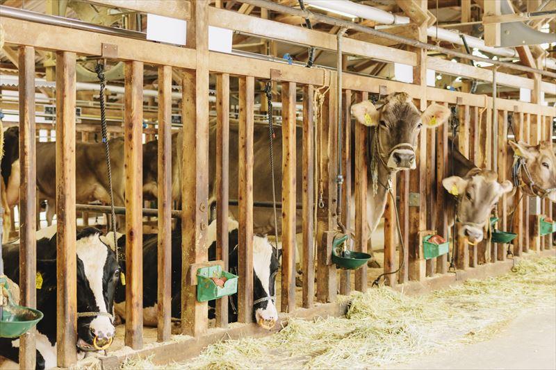 いでぼくの綺麗な牛舎
