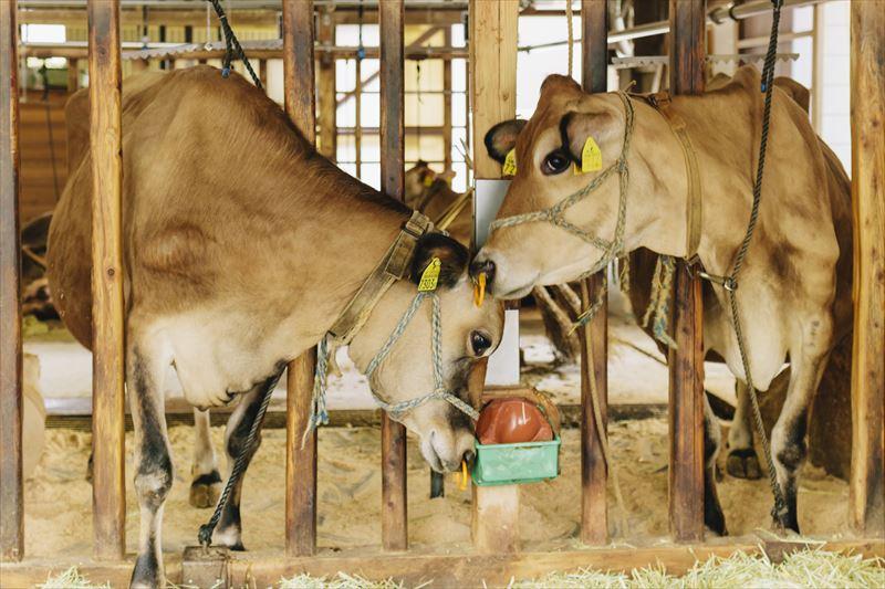 可愛らしいジャージー牛