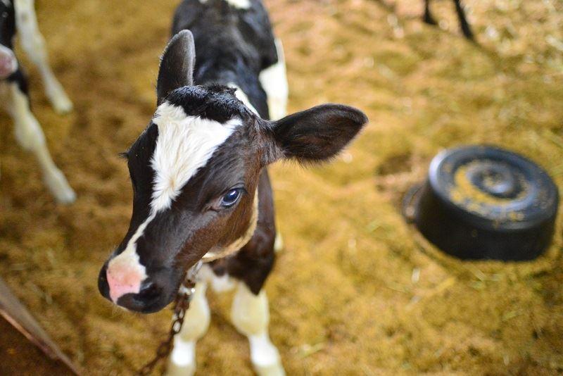 福田牧場の子牛