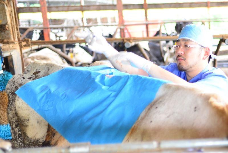 牛の診察をしている原田先生