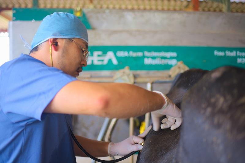 牛を診察する原田先生