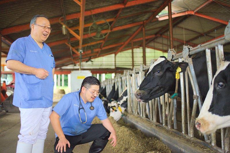 牛を診察する磯院長と原田先生