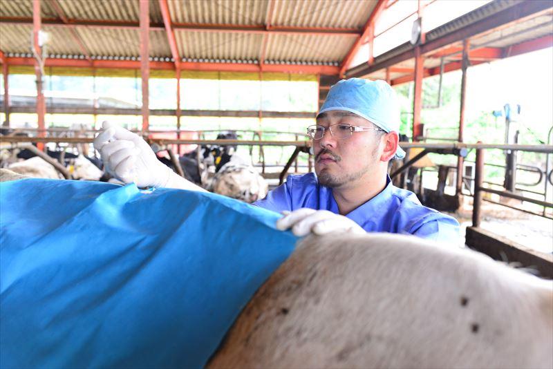 牛の診療を行う原田先生