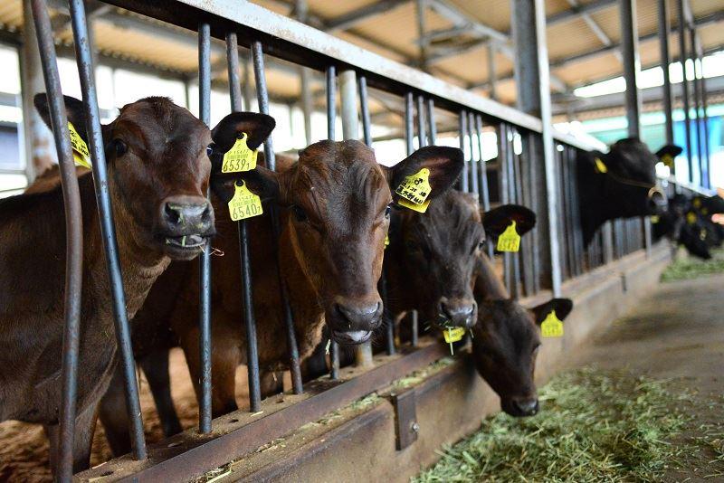 齋藤農場の牛舎の様子