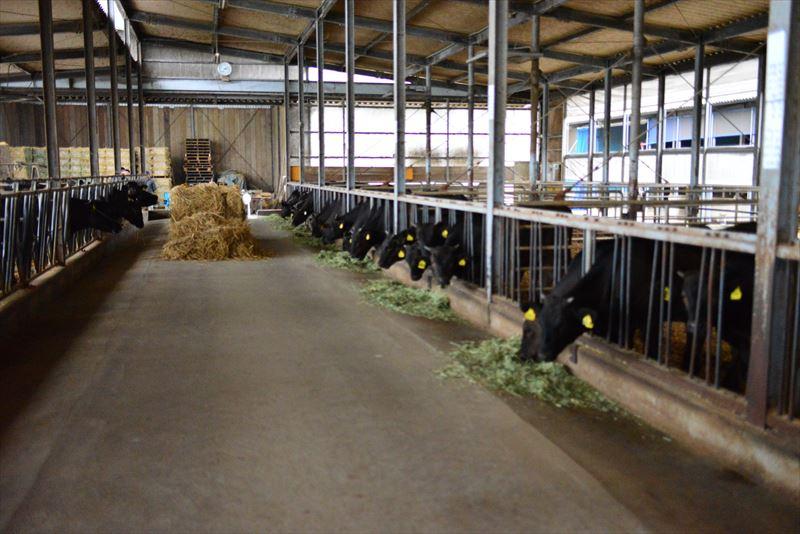 齋藤農場の牛舎の牛たち