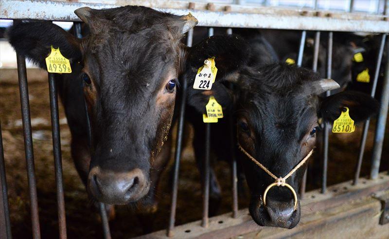 齋藤農場の牛たち