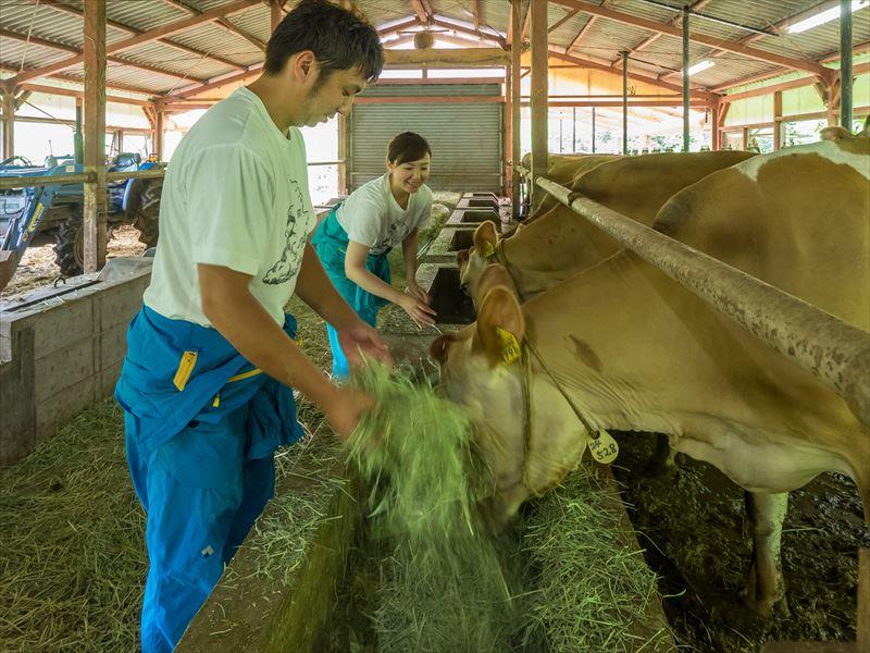 エサを食べる牛たち