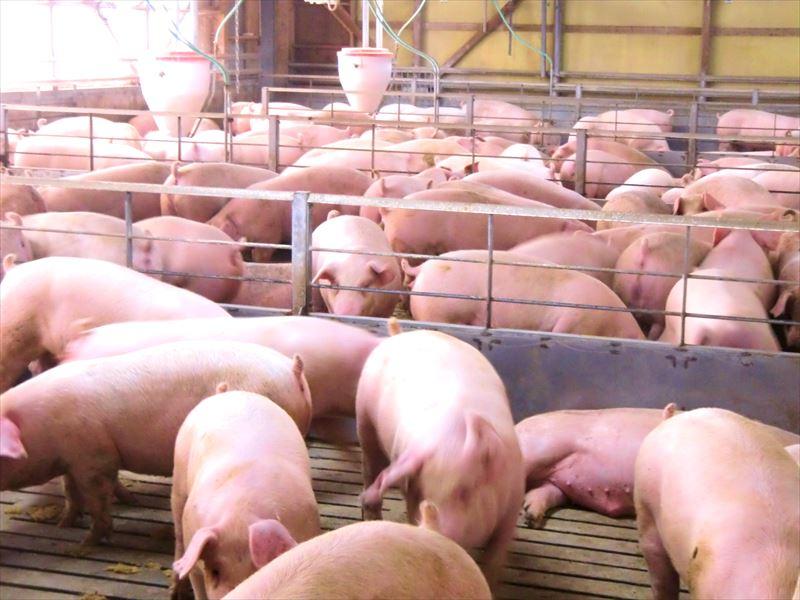 あさの牧場の豚