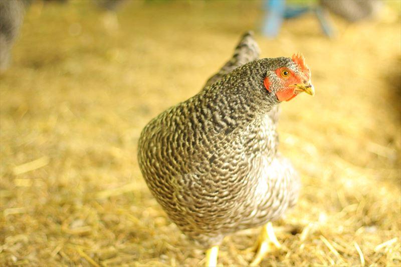 元気に走り回る鶏