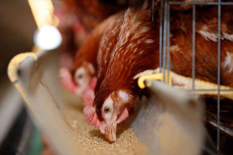 コッコファームの鶏たち