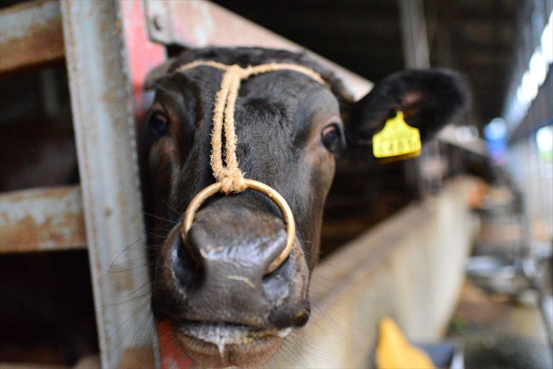 齋藤農場の牛