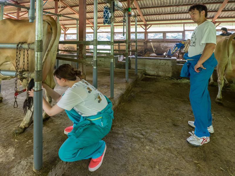 牛の搾乳をする奈々さん