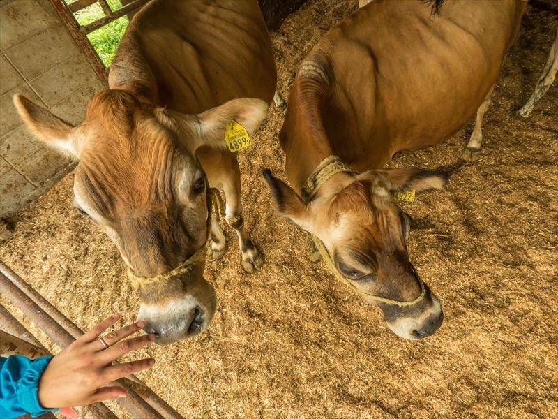 ファームつばさの牛たち
