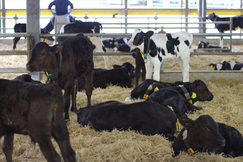 フェリスラテの牛舎の様子