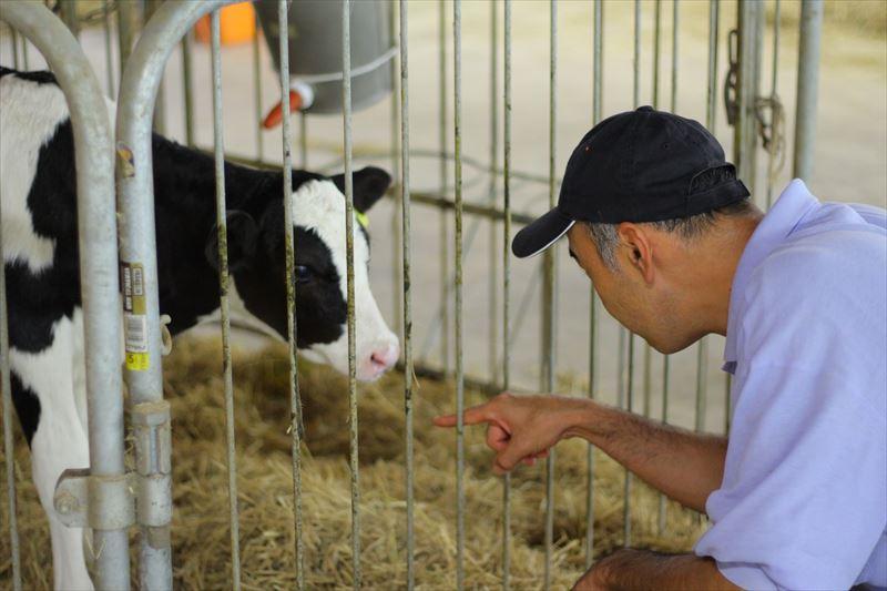 子牛を見守るフェリスラテ田中さん
