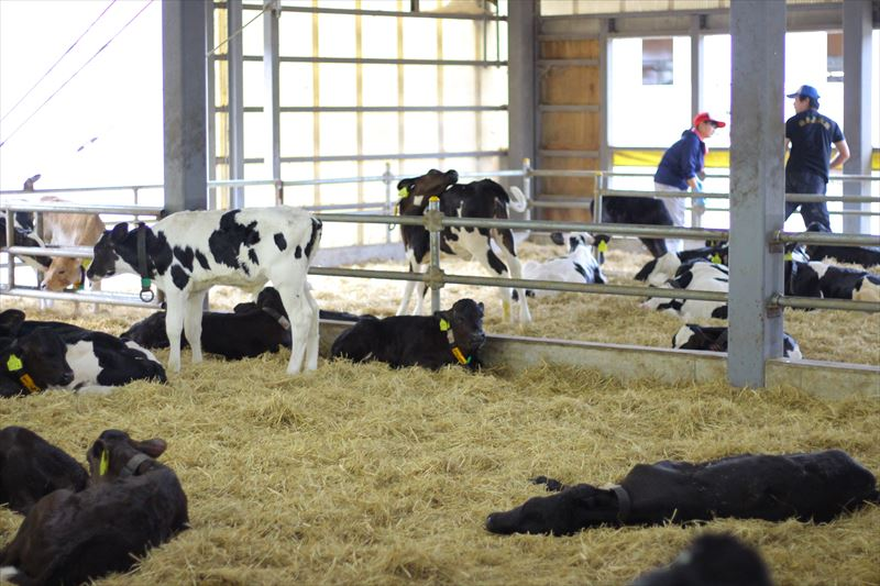 フェリスラテの牛舎