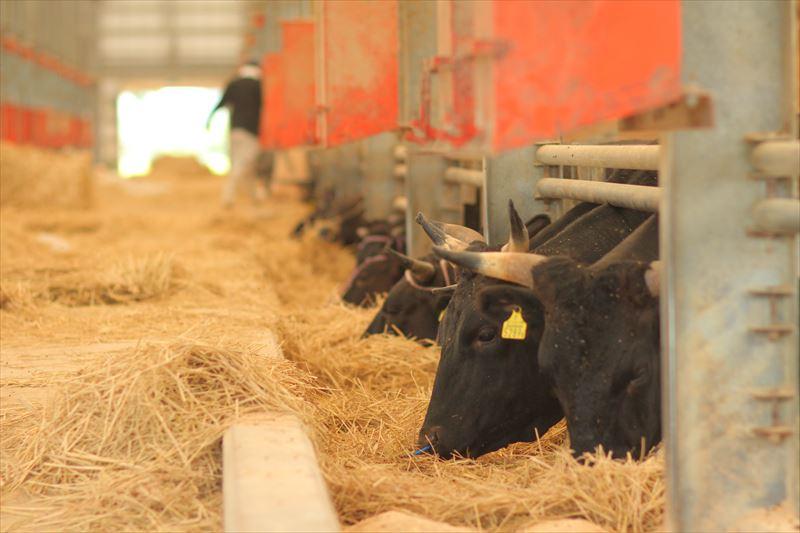 湯浅ファームの牛舎の牛たち