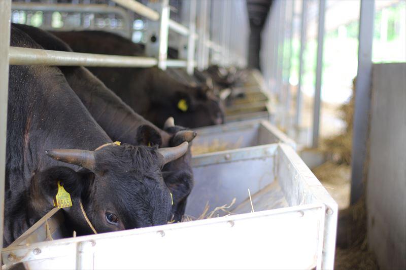 うしちゃんファームの牛