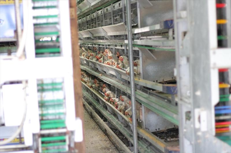 会津地鶏の飼育の様子