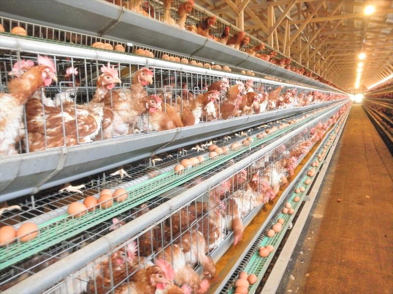 赤鶏の飼育の様子