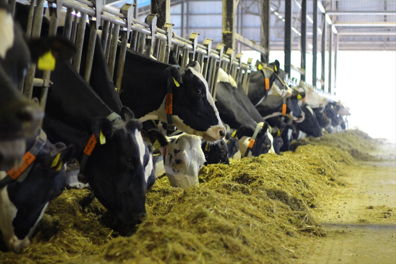 雪割牧場の牛たち
