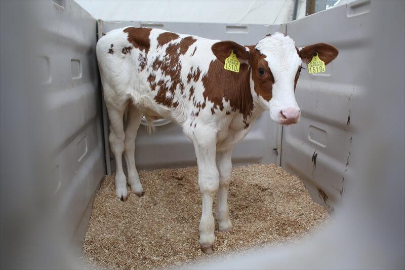 生まれたばかりの子牛