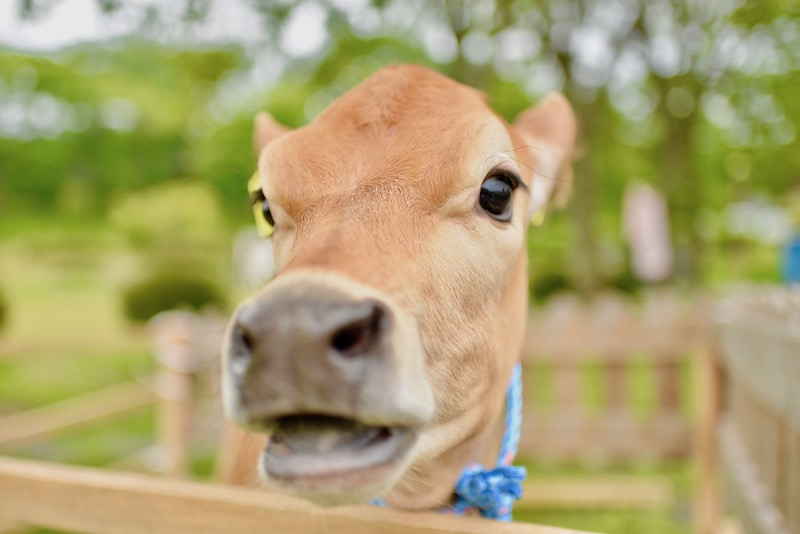 ファームつばさの子牛