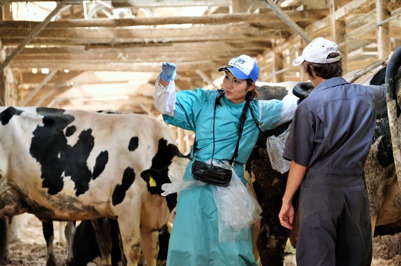 牛の検診をする瀧口朝陽先生