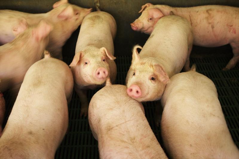 ピッグファーム室岡の豚