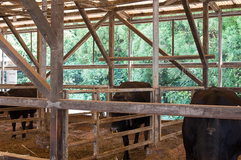 福永畜産の快適な牛舎