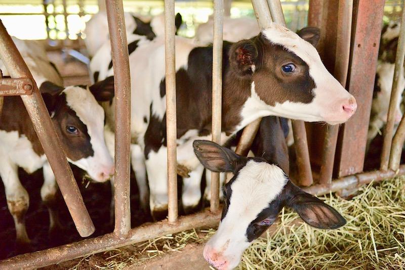 保田牧場の牛たち