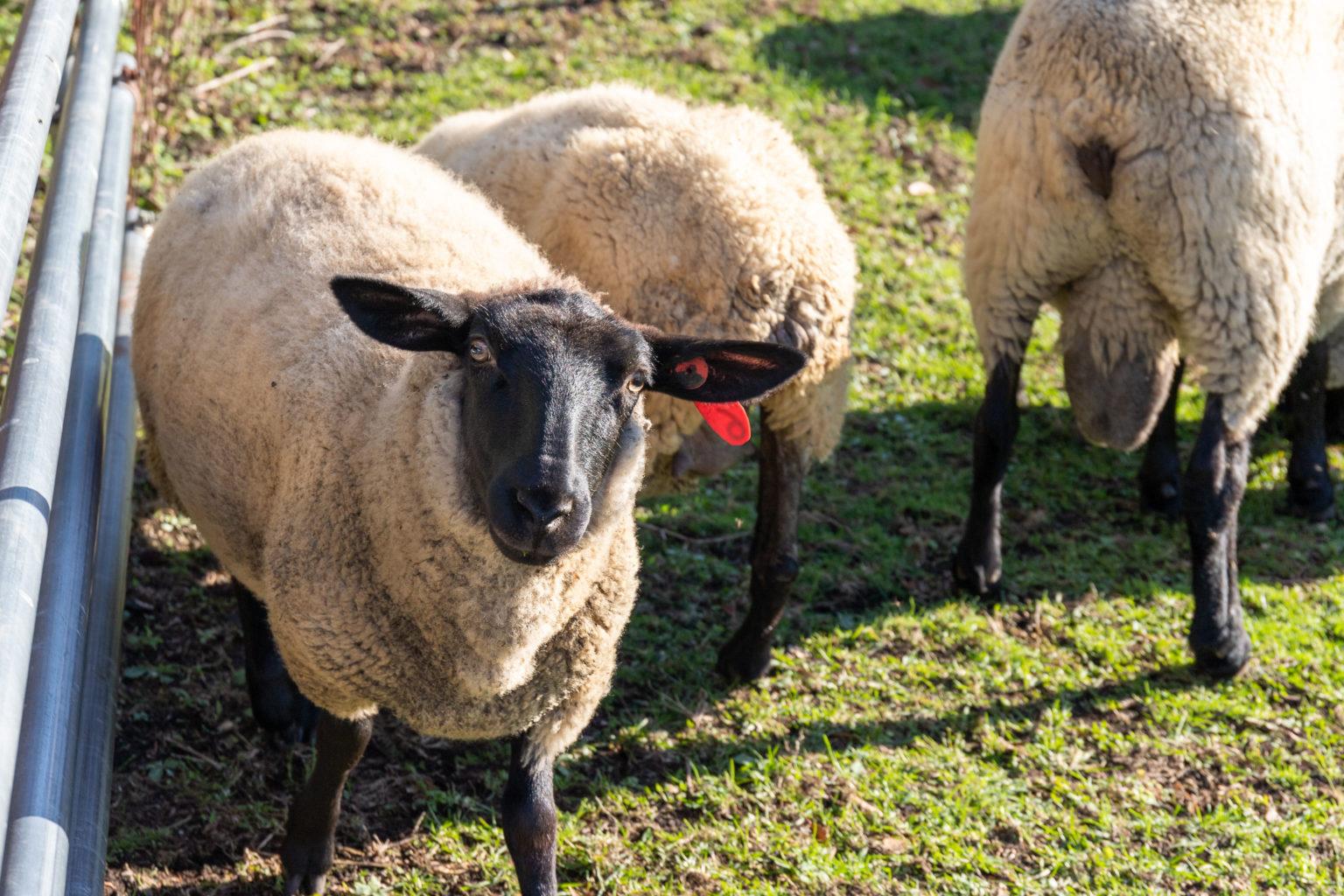 希少肉ホゲットも!絶滅危機だった「南部羊」を未経験の移住者がノリで ...